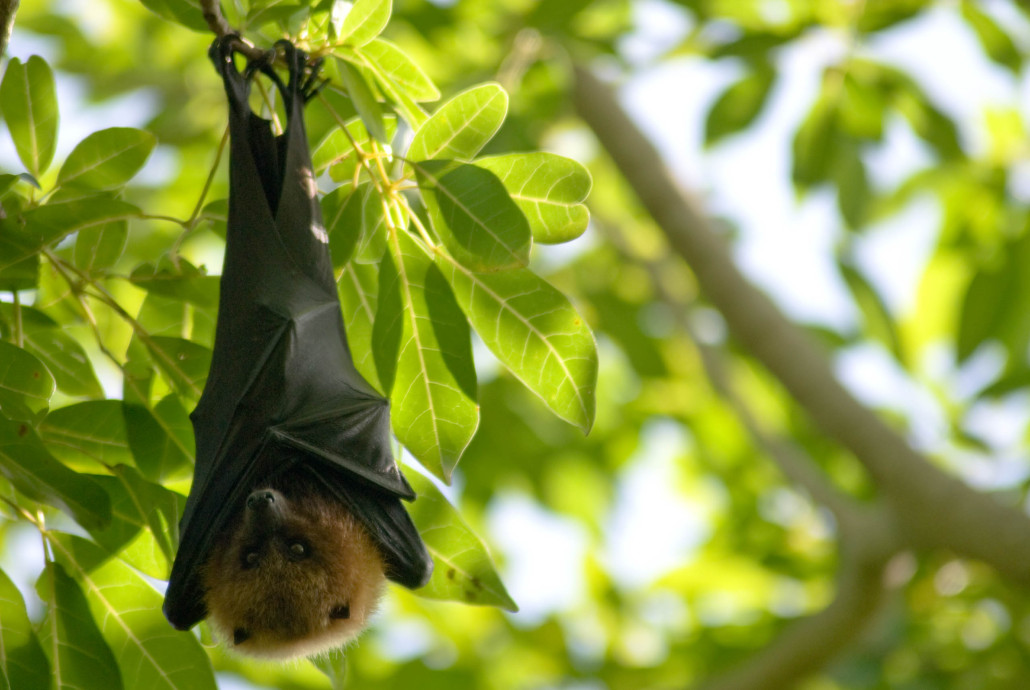 Rodrigues Fruit Bat - Martin Holland
